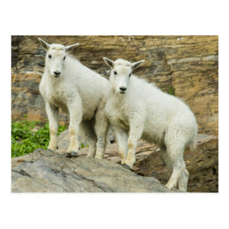 Mountain goat playing in Glacier National Park Postcard