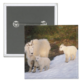 mountain goats, Oreamnos americanus, mother and 15 Cm Square Badge