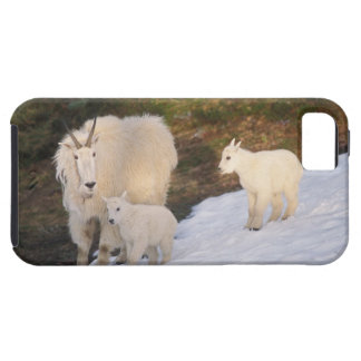 mountain goats, Oreamnos americanus, mother and iPhone 5 Case