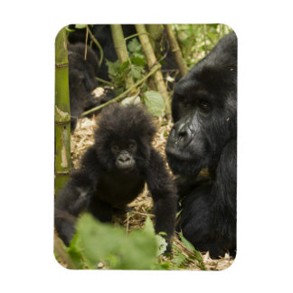 Mountain Gorilla, adult with young Rectangular Photo Magnet