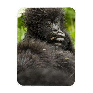 Mountain Gorilla, baby riding on mothers back Rectangular Photo Magnet