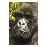 Mountain Gorilla, Gorilla beringei beringei, Art Photo