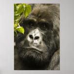 Mountain Gorilla, Gorilla beringei beringei, Poster