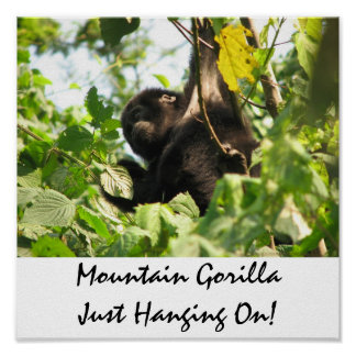 Mountain Gorilla Just Hanging On! Poster