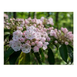 Mountain Laurel Wildflower Postcard