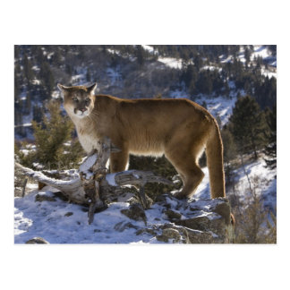 Mountain Lion, aka puma, cougar; Puma concolor, Postcard