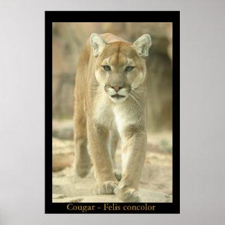 Mountain Lion - Felis concolor Poster
