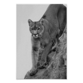 Mountain Lion in Black and white Poster