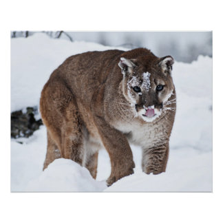 Mountain Lion in the Snow Poster