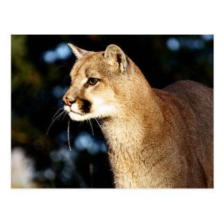Mountain Lion Profile Postcards
