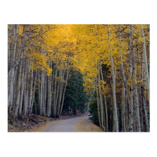 Mountain Road Framed by Golden Aspens Postcard