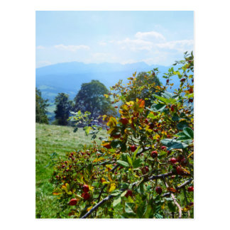Mountain rose postcard
