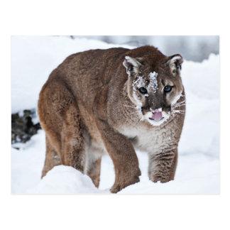Mountina Lion on the Prowl Postcard