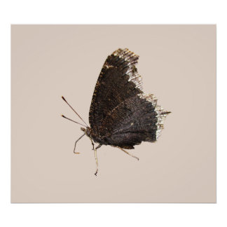 Mourning Cloak butterfly ~ print