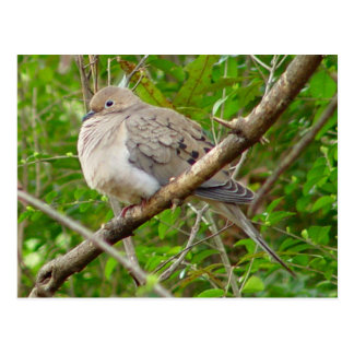 Mourning Dove Bird Postcard
