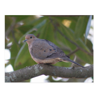 Mourning Dove Photo Postcard