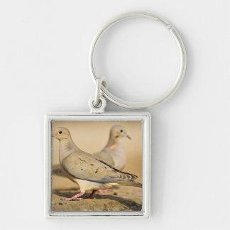 Mourning Dove (Zenaida macroura) adults on Key Ring