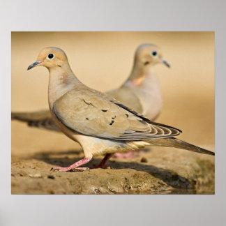 Mourning Dove (Zenaida macroura) adults on Poster