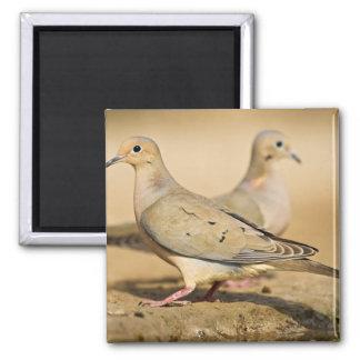 Mourning Dove (Zenaida macroura) adults on Square Magnet