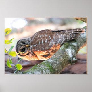 Mr Barred Owl at Sunset (Oil Effect v2) Poster
