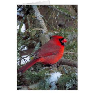 Mr. Cardinal from my window Card
