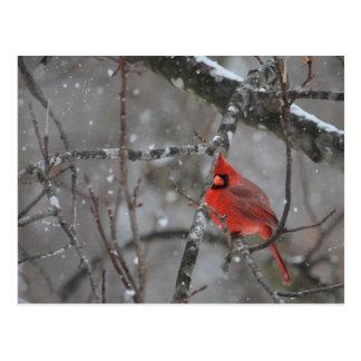 Mr. Cardinal - Postcard