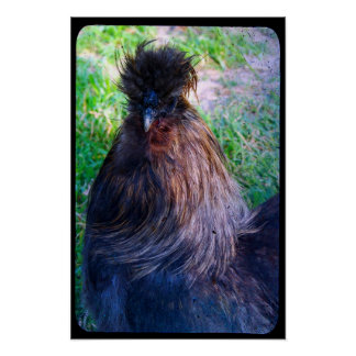 Mr. Fluffy the Silkie Rooster Poster