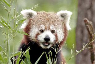 Cute Red Panda Coffee Travel Mugs Zazzle Au