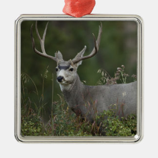Mule Deer buck browsing in brush Silver-Colored Square Decoration
