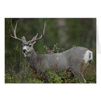 Mule Deer buck browsing in brush Greeting Card