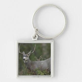 Mule Deer buck browsing in brush Key Chain