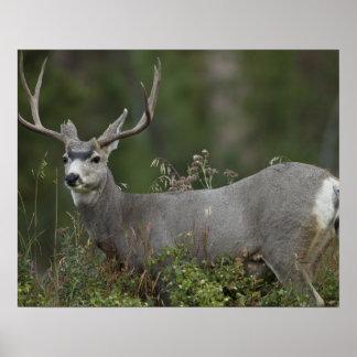 Mule Deer buck browsing in brush Poster