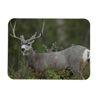 Mule Deer buck browsing in brush Rectangular Photo Magnet