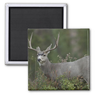 Mule Deer buck browsing in brush Square Magnet