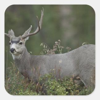 Mule Deer buck browsing in brush Square Sticker