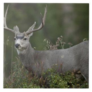 Mule Deer buck browsing in brush Large Square Tile