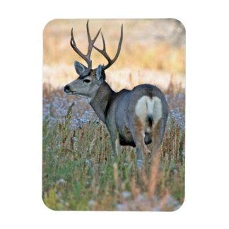Mule deer buck (Odocoileus hemionus) Rectangular Photo Magnet