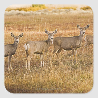 Mule deer (Odocoileus hemionus) One on left with Square Sticker
