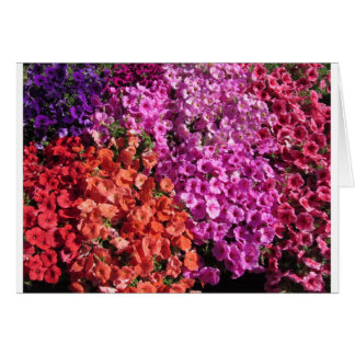 Multicolored petunia flowers texture background card