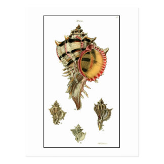 Murex sea shells vintage illustration postcard