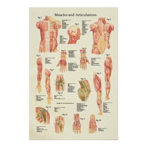 Muscles and Articulations Human Anatomy Poster