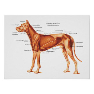 Muscles of the Dog Anatomy Poster