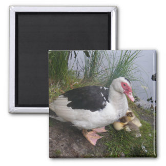 Muscovy Duck Mother with Ducklings Magnet