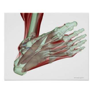 Musculoskeleton of the Foot 2 Poster