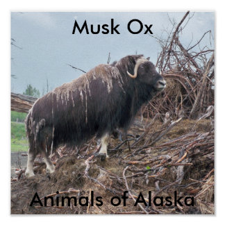 Musk ox-Animals of Alaska Poster
