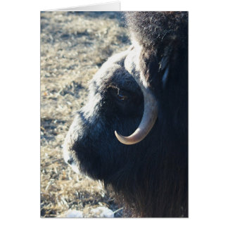 Musk Ox Card