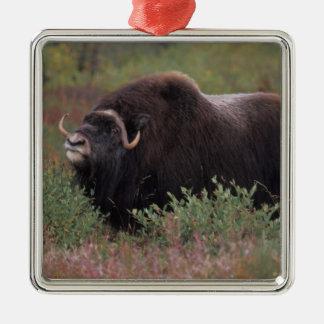 muskox bull scents the air in fall tundra, North Silver-Colored Square Decoration