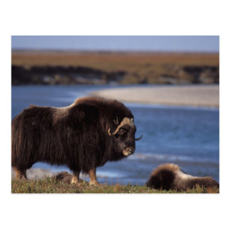 Muskox, cow along a river on coastal plain of postcard