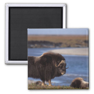 Muskox, cow along a river on coastal plain of square magnet