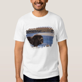 Muskox, cow along a river on coastal plain of t shirt
